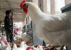 دجاج غزة - ارشيف