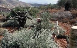 شجر الزيتون- أرشيفية