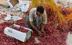 موسم جني  وحصاد البلح الأحمر هذا العام
