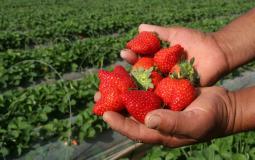 مزارع يقطف ثمار الفراولة شمال قطاع غزة