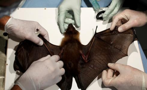 علماء بريطانيون يكتشفون فيروس كورونا جديد لدى خفافيش بريطانية