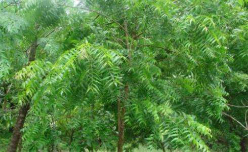 شجرة شاي النيم